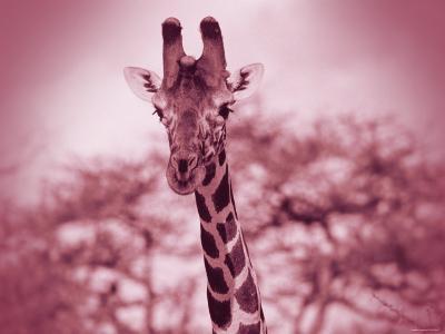 Giraffe in the Wild--Photographic Print