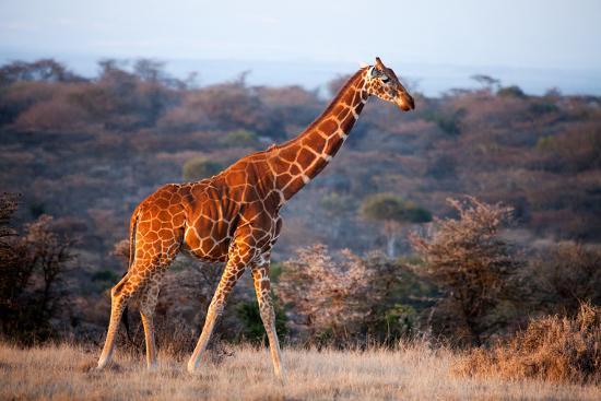 Giraffe, Kenya, East Africa, Africa-John Alexander-Photographic Print