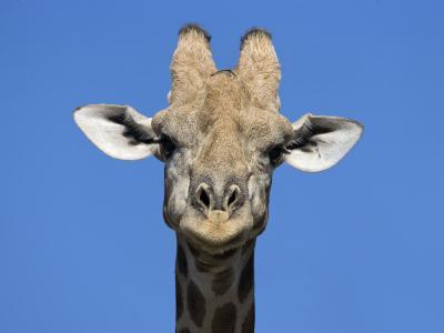 Giraffe, Kgalagadi Transfrontier Park, Northern Cape, South Africa, Africa-Toon Ann & Steve-Photographic Print