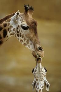 Giraffe Kissing Young Giraffe