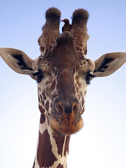 Giraffe Looking at Camera, Tsavo, Kenya, Africa-Neil Thomas-Photographic Print