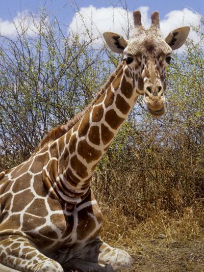 Giraffe Lying Down, Loisaba Wilderness, Laikipia Plateau, Kenya-Alison Jones-Photographic Print