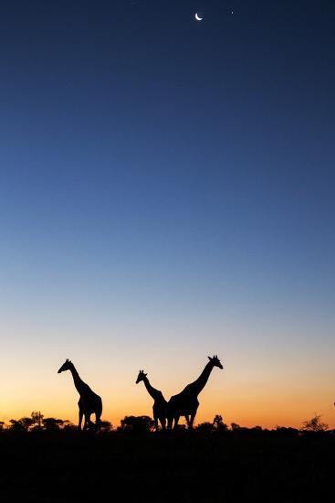 Giraffe, Makgadikgadi Pans National Park, Botswana-Paul Souders-Photographic Print