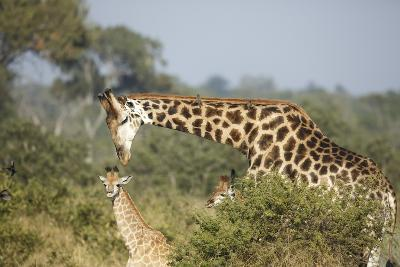 Giraffe Male and Calf-Richard Du Toit-Photographic Print