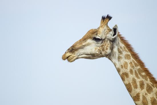 Giraffe, Moremi Game Reserve, Botswana-Paul Souders-Photographic Print