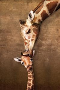Giraffe Mother's Kiss