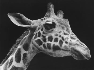 Giraffe's Head (B&W)-George Marks-Photographic Print