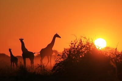 Giraffe Silhouette - African Wildlife Background - Beauty in Color and Freedom-Stacey Ann Alberts-Photographic Print
