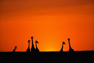 Giraffe Silhouettes at Sunset-Paul Souders-Photographic Print