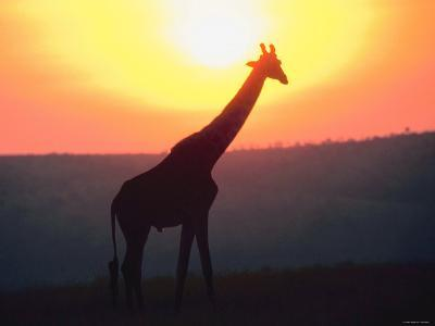 Giraffe Standing in Nature and Silhouetted by Glowing Sunset--Photographic Print