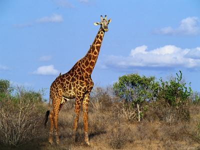 Giraffe Tsavo West National Park, Kenya-John Hay-Photographic Print