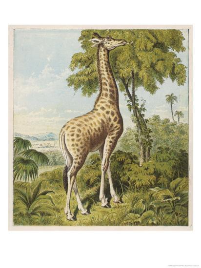 Giraffe Uses Its Dextrous Tongue to Pick off the Leaves from a Very Tall Tree-Joseph Kronheim-Giclee Print