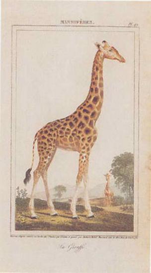 Giraffe--Art Print