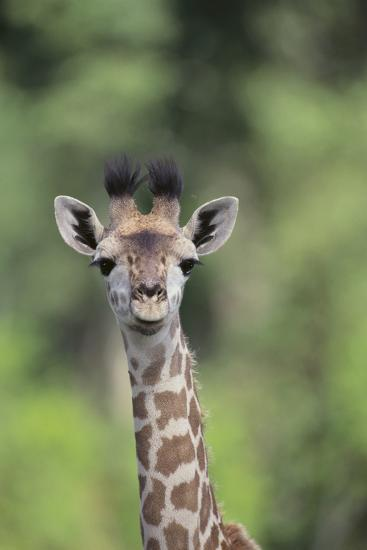 Giraffe-DLILLC-Photographic Print