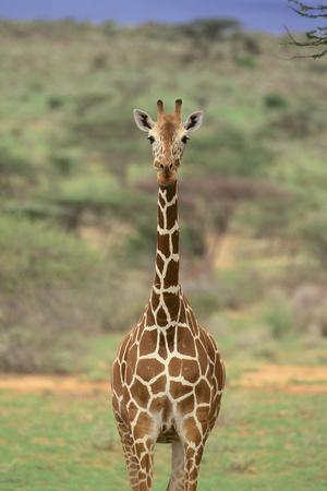 https://imgc.artprintimages.com/img/print/giraffe_u-l-pzrc8l0.jpg?p=0