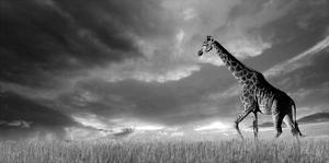 Giraffes, African Skies