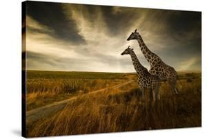 Giraffes And The Landscape