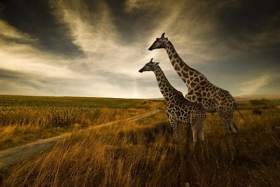 Giraffes And The Landscape--Photographic Print