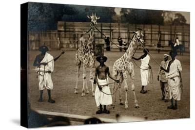 Giraffes and their Somali Handlers, C.1905