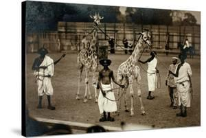 Giraffes and their Somali Handlers, C.1905