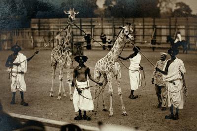 Giraffes and their Somali Handlers, C.1905--Photographic Print
