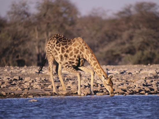 Giraffes at Klein Namutoni Waterhole-DLILLC-Photographic Print