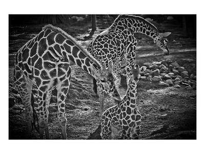 Giraffes B+W-Michael Polk-Art Print