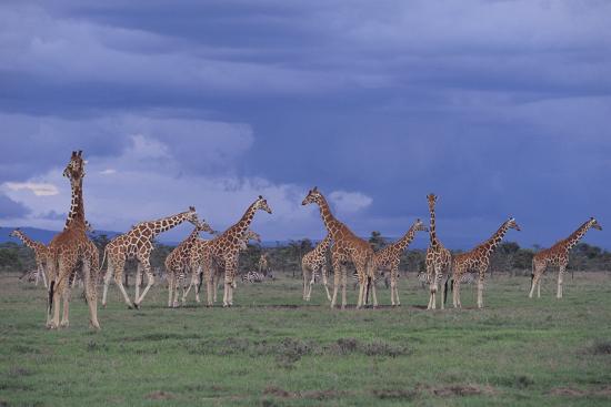 Giraffes Gathered on the Savanna-DLILLC-Photographic Print
