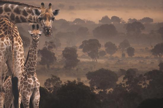Giraffes in Africa-DLILLC-Photographic Print