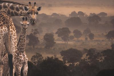 https://imgc.artprintimages.com/img/print/giraffes-in-africa_u-l-pzs3n20.jpg?p=0