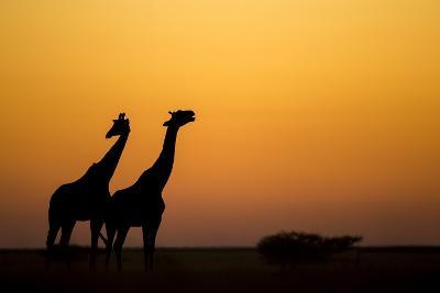 Giraffes, Nxai Pan National Park, Botswana-Paul Souders-Photographic Print