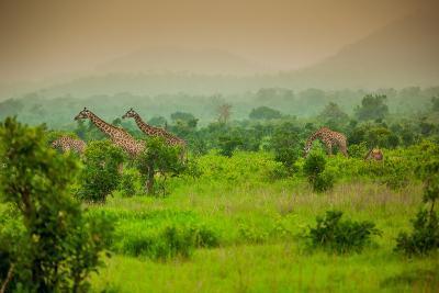 Giraffes on Safari, Mizumi Safari Park, Tanzania, East Africa, Africa-Laura Grier-Photographic Print