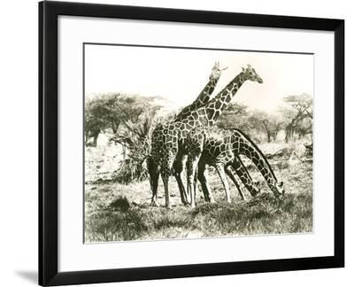 Giraffes Out Grazing--Framed Photo
