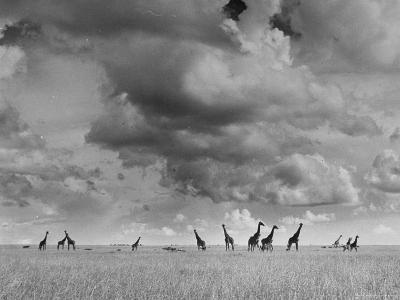 Giraffes Roaming Through the Field-Eliot Elisofon-Photographic Print