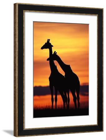 Giraffes Silhouettes at Sunset--Framed Photographic Print