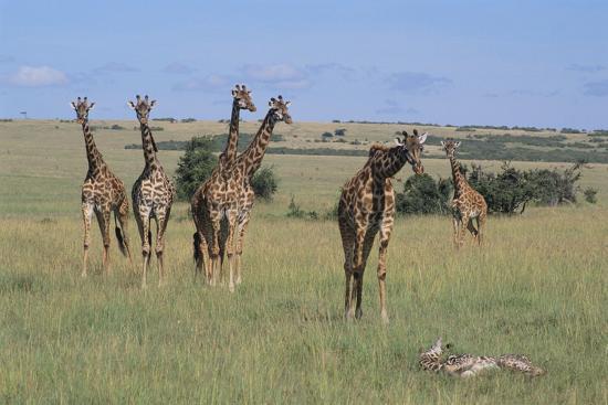 Giraffes Standing around an Injured Young Giraffe-DLILLC-Photographic Print