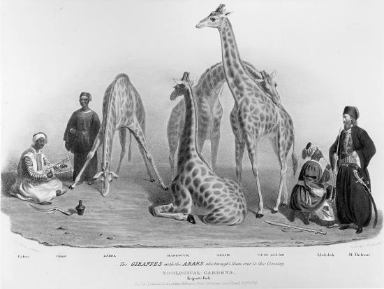 Giraffes with the Arabs Who Brought Them over to Here, Zoological Gardens, Regent's Park, 1836-George The Elder Scharf-Giclee Print