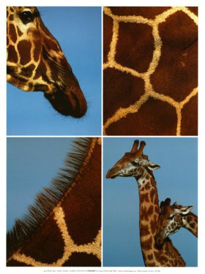 Giraffes-Jean-Michel Labat-Art Print