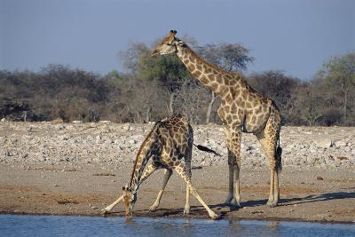 Giraffes-Peter Chadwick-Photographic Print
