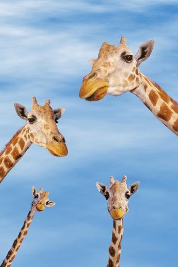 Giraffes--Photographic Print