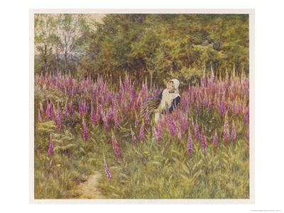 Girl Gathering Sticks in Kent Walks Through a Mass of Foxgloves-Helen Allingham-Giclee Print