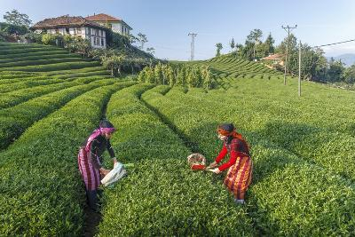 Girls Collecting Tea in Field in Rize, Black Sea Region of Turkey-Ali Kabas-Photographic Print