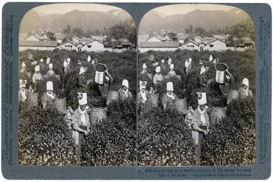 Girls Picking Tea on the Famous Plantation at Uji, Japan, 1904-Underwood & Underwood-Giclee Print