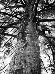 Tree of Literature at Coole Park, Partron of Many Irish Writers by Gjon Mili