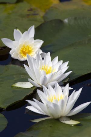Three Water Lilies.
