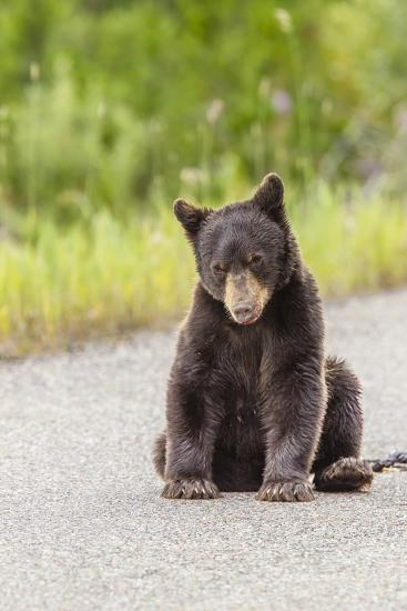 Glacier National Park, the Loser of Bear-Truck Collision on the Camas Road-Michael Qualls-Photographic Print