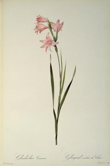 Gladiolus Carneus, from `Les Liliacees', 1804-Pierre-Joseph Redout?-Giclee Print