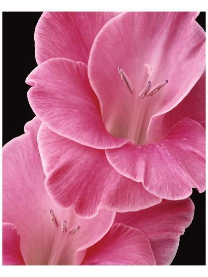 Gladiolus V-Danny Burk-Art Print