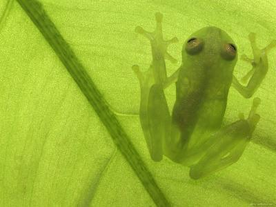 Glass Frog, Amazonia, Se Ecuador-Pete Oxford-Photographic Print