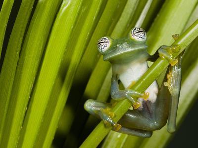 Glass Frog, Choca Region, Ecuador-Pete Oxford-Photographic Print
